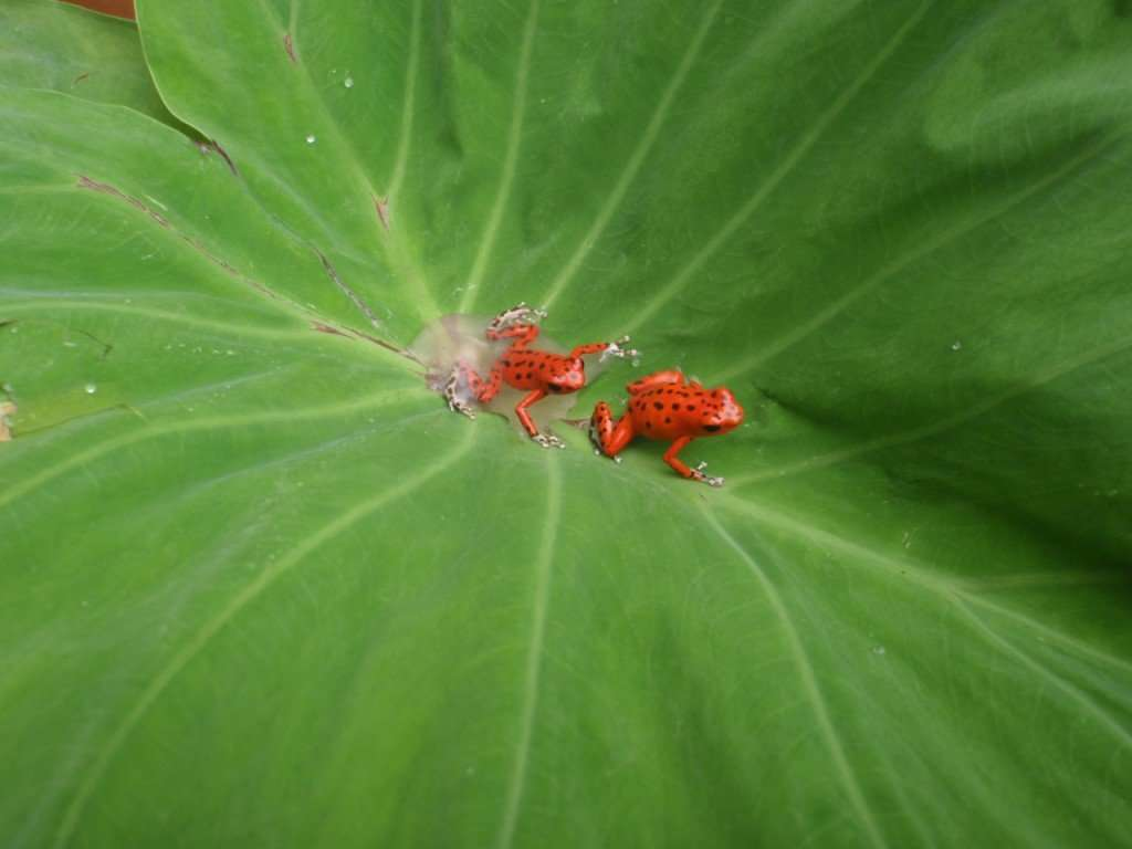 Red frogs at Red Frog Beach...go figure!