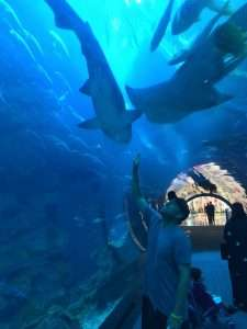Great white sharks at the Dubai Aquarium